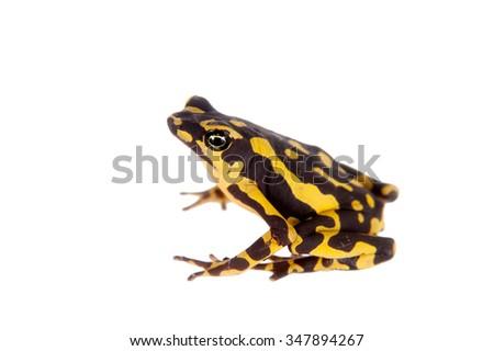 Amazons Harlequin Frog, Atelopus spumarius, on the white background - stock photo