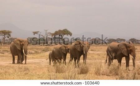 Amboseli ellis 1,04 - stock photo