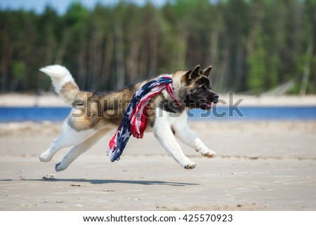 american akita dog running on a beach in a scarf - stock photo