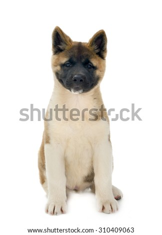 American Akita puppy sits, isolated on white background - stock photo