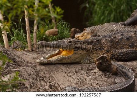American Alligator, Alligator  with open mouth - stock photo