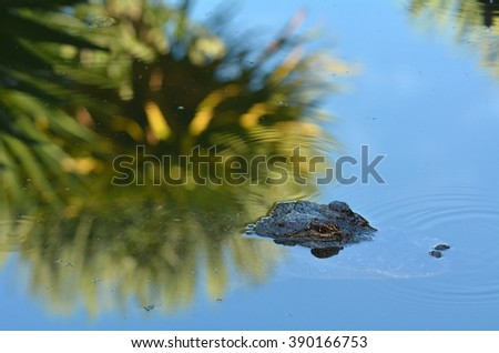 American alligator Camouflage in the water.It's a large crocodilian reptile endemic to the southeastern United States and the official state reptile of: Florida, Louisiana, and Mississippi. - stock photo