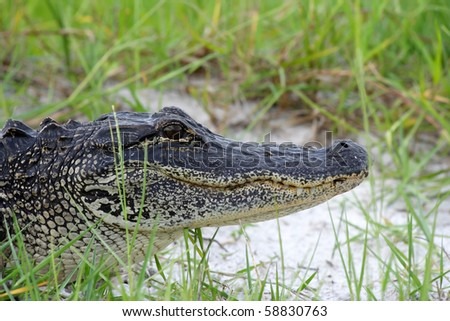 American Alligator in the Everglades, Big Cypress National Preserve - stock photo
