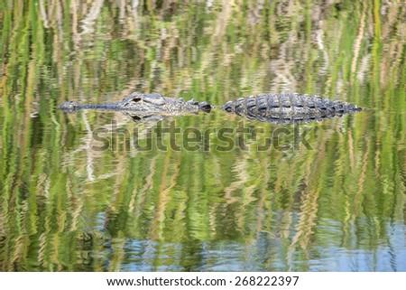 American Alligator Swimming in a River - stock photo