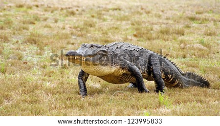 American alligator walks across the grassy meadow - stock photo