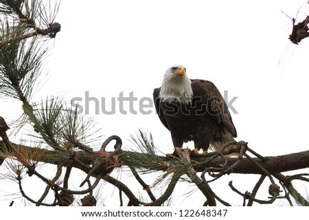 american bald eagle eating a freshly caught fish - stock photo
