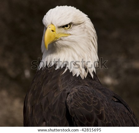 American Bald Eagle glaring - stock photo