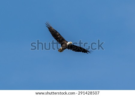 American Bald Eagle gliding - stock photo