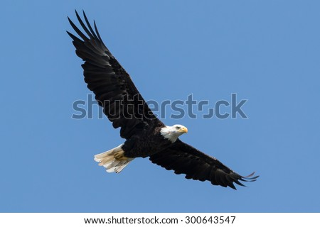 American Bald Eagle hunting in flight against a blue sky - stock photo