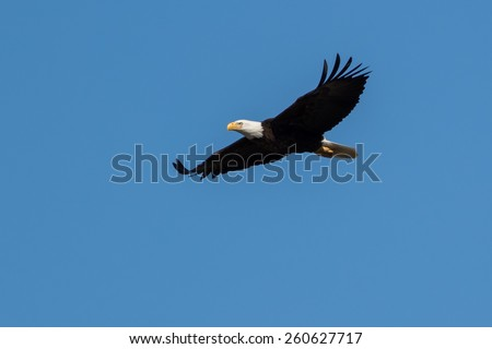 American Bald eagle hunting over winter in blue sky - stock photo