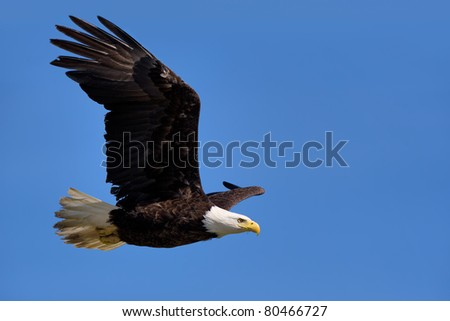 american bald eagle in flight against clear blue alaska sky - stock photo