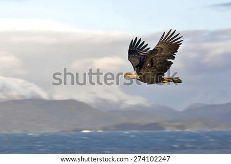american bald eagle in flight over alaska's cook inlet - stock photo
