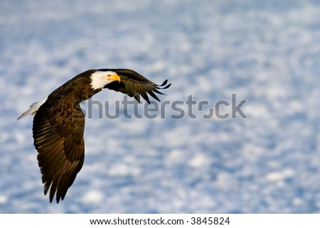 american bald eagle in flight over alaskan icy water - stock photo