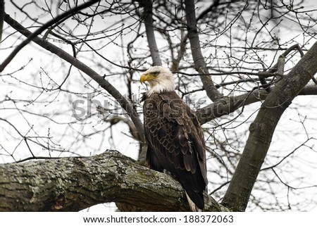 American Bald Eagle looking over the Chesapeake Bay in Maryland - stock photo