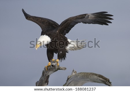 American Bald Eagle on driftwood  - stock photo