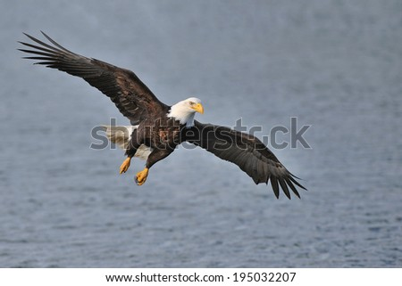 american bald eagle preparing to snag fish in alaskan waters - stock photo