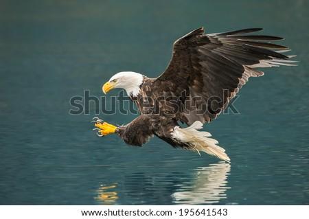 american bald eagle preparing to snag fish in alaskan waters - stock photo