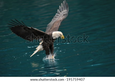 american bald eagle snatching a fish from alaskan waters - stock photo