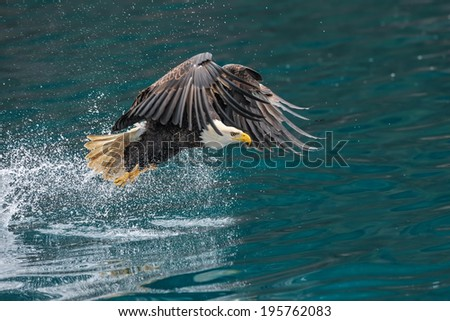 american bald eagle splashing while trying to snatch a fish from alaskan waters - stock photo