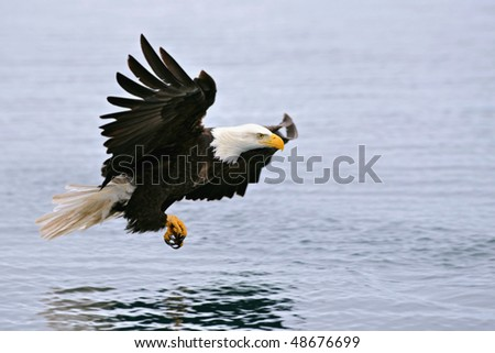 american bald eagle swooping over alaskan waters to grab a fish - stock photo