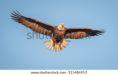 American bald eagle wings spread, blue sky - stock photo