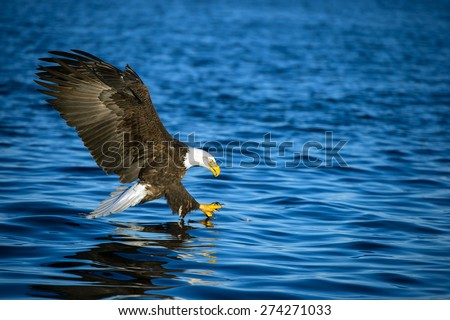 american bald eagle with talons extended to grab fish in alaskan waters - stock photo