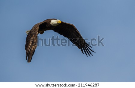 American balled eagle in flies from left to right - stock photo