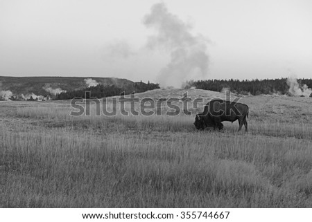 American Bison and geothermal landscape with steaming geyser in background, Yellowstone National Park, USA - stock photo