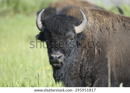 American Bison at Yellowstone National Park - stock photo