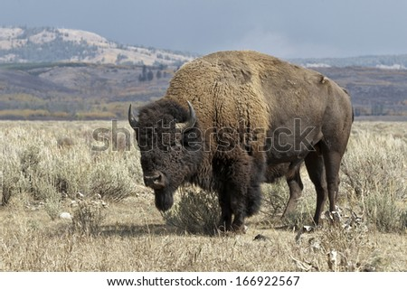 American Bison, Bison bison, rutting bull standing guard over female, Grand Teton NP - stock photo