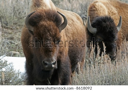 American bison (Bison bison), Yellowstone National Park, Wyoming - stock photo
