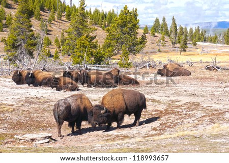 American Bison (Buffalo) in Yellowstone National Park - stock photo