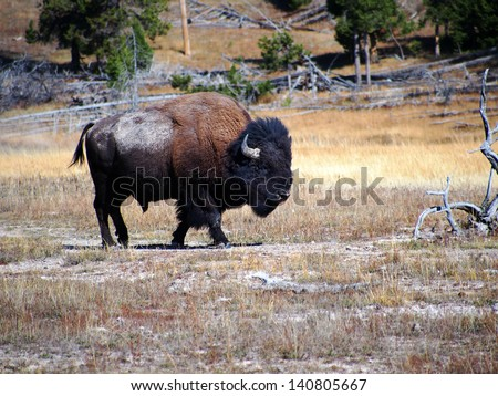 American Bison (Buffalo) in Yellowstone National Park, Wyoming - stock photo
