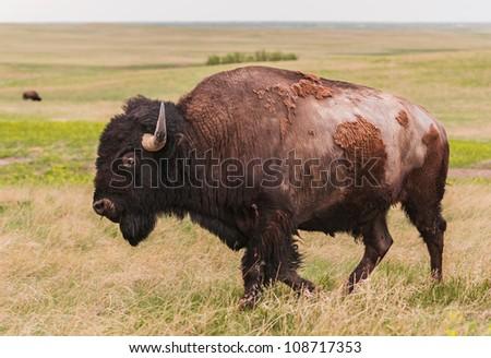 American Bison Bull (Bison bison) Walks By - Badlands National Park, South Dakota, USA - stock photo