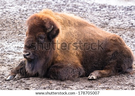 American bison lying peacefully on the ground - stock photo