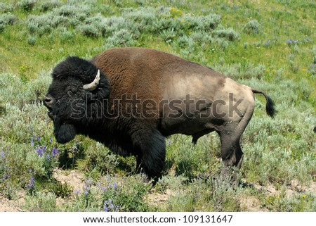 American bison male bellowing during mating season - stock photo
