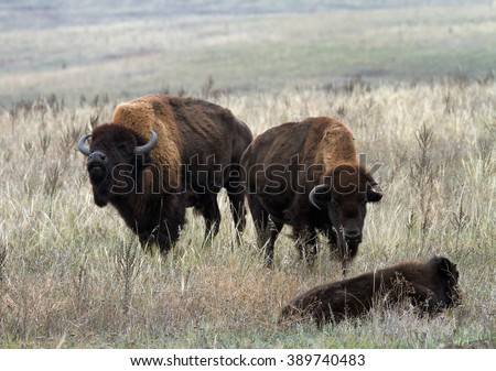American bison male smelling air in mating period. Two American bison (bison bison) with baby. American bison family in the autumn steppe. - stock photo