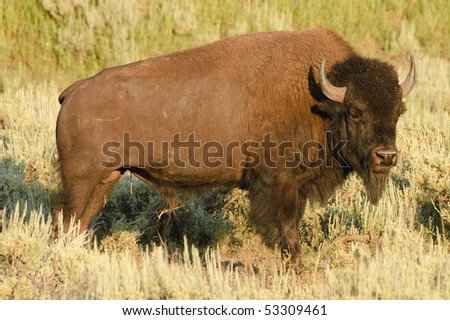 American Bison on the plain - stock photo