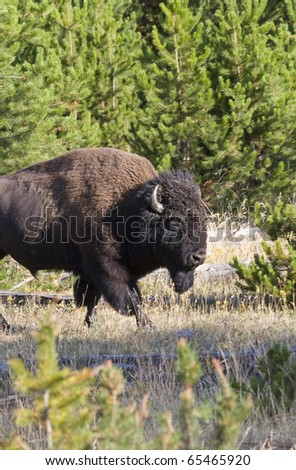 American Bison portrait taken in Yellowstone National Park - stock photo