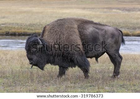 American Bison scent tasting - stock photo