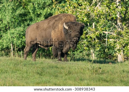 American Bison standing at the edge of the trees. - stock photo