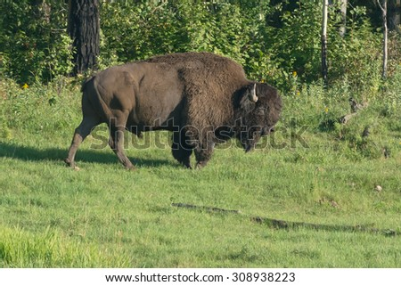American Bison walking along the edge of the trees. - stock photo