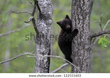 American Black Bear cub in tree - stock photo