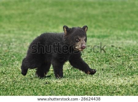 American Black Bear (Ursus americanus) Cub Runs Across Grass - captive animal, some motion blur - stock photo