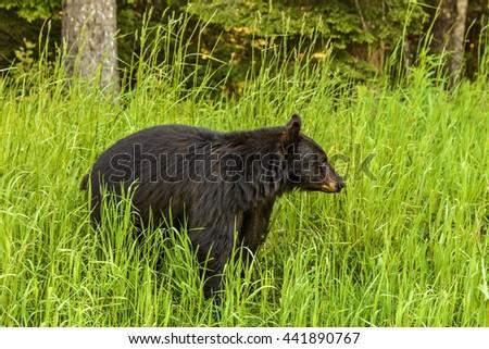 American black bear (Ursus americanus) in the woods in Whistler, British Columbia, Canada - stock photo