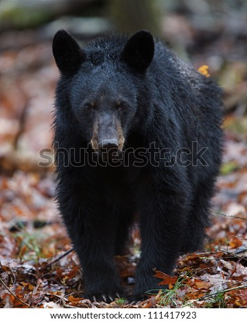 American Black Bear walking straight at the photographer!  Great Smoky Mountains National Park, Tennessee / North Carolina - stock photo