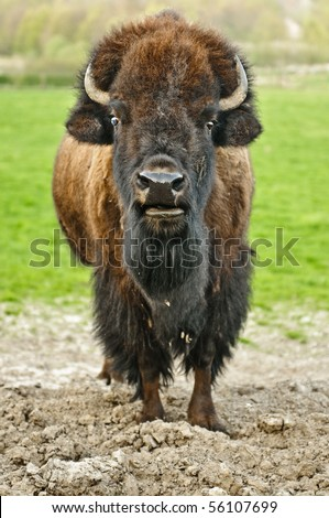 American buffalo in a field - stock photo