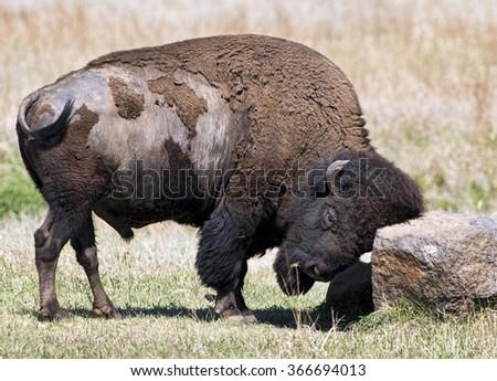American buffalo scratching head on large rock. - stock photo