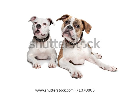 American bulldog - stock photo