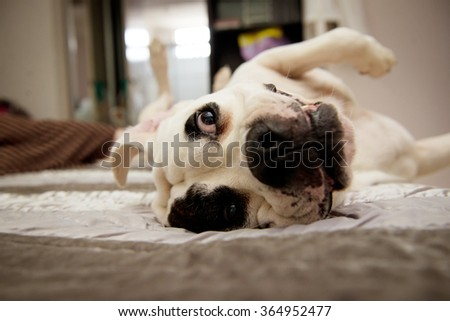 American Bulldog upside down on bed - stock photo